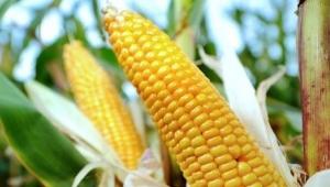 GMO Corn 300 x 170