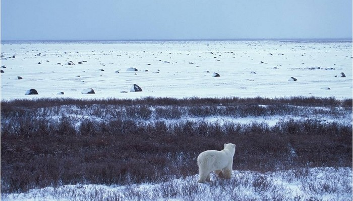 Polar Bear and a Barrier Island